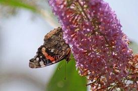 170724 Buddleja & butterfly (4)