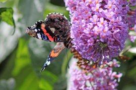 170724 Buddleja & butterfly (5)