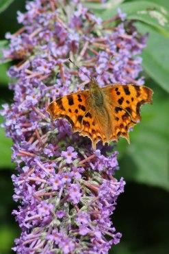 170724 Buddleja & butterfly (6)