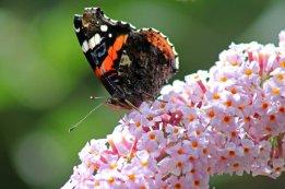 170724 Buddleja & butterfly (7)