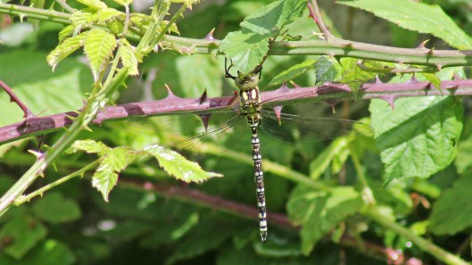 170724 Southern hawker