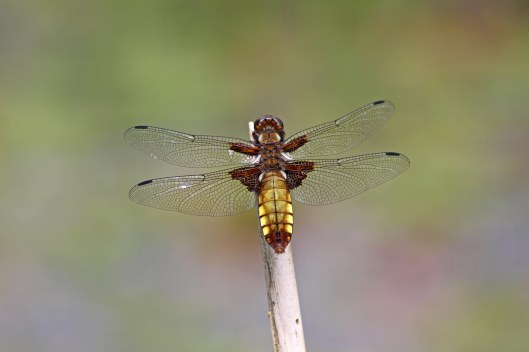 170725 Broad-bodied chaser (1)