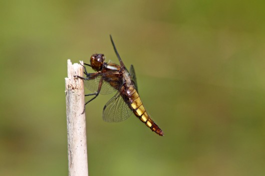 170725 Broad-bodied chaser (2)