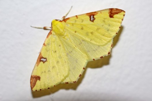 170726 Brimstone moth