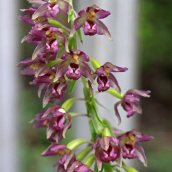 170728 Broad-leaved helleborine (3)