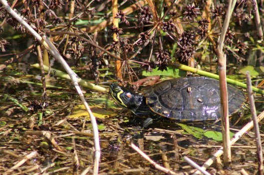 170801 American red-eared terrapin
