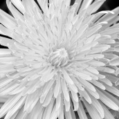 7 dandelion