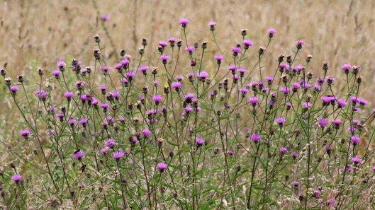 170804 Common Knapweed (1)
