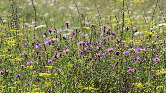 170804 Common Knapweed (2)