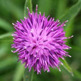 170804 Common Knapweed (3)