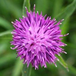 170804 Common Knapweed (3)