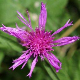 170804 Common Knapweed (5)