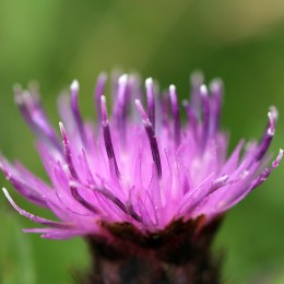 170804 Common Knapweed (6)
