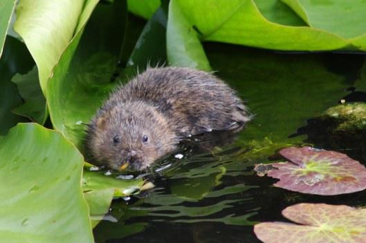 170805 Water vole (2)
