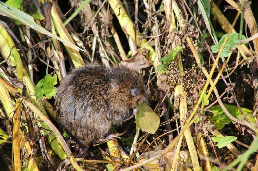 170805 Water vole (3)
