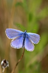 170806 Common blue (2)