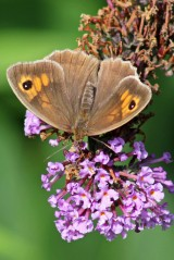 170806 Meadow brown