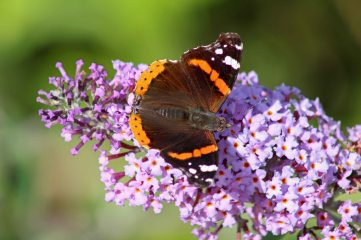 170806 Red admiral