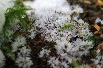 170808 Slime Ceratiomyxa fruticulosa