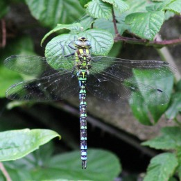 170809 Southern hawker
