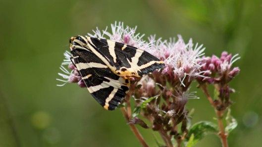 170812 Jersey tiger (3)