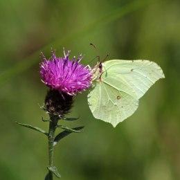 170813 Brimstone butterfly