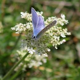 170813 Common blue