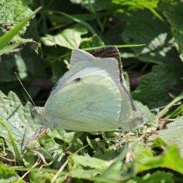 170813 Large whites mating