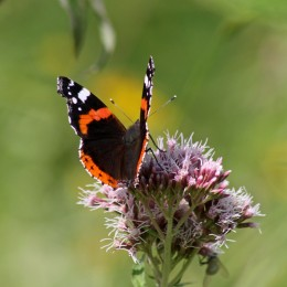 170813 Red admiral