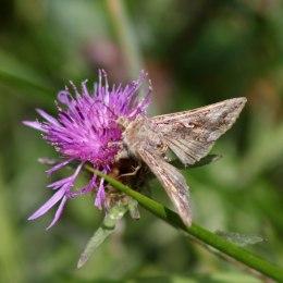 170813 Silver Y moth