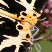 170814 Jersey tiger 130817 crop (1)