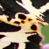 170814 Jersey tiger 130817 crop (2)