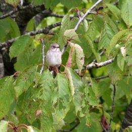 170815 Spotted flycatcher (2)