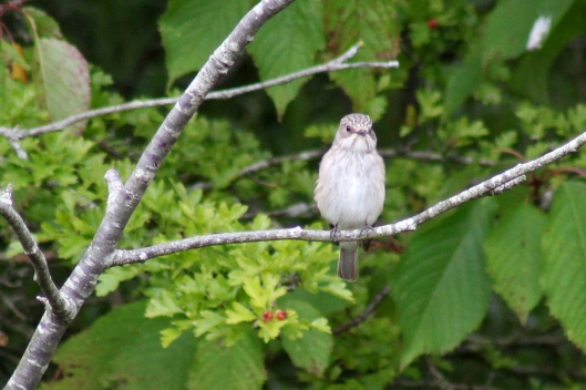 170815 Spotted flycatcher (3)