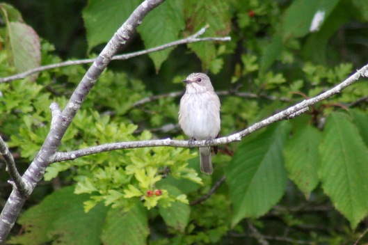 170815 Spotted flycatcher (4)