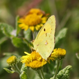 170816 Clouded yellow (1)