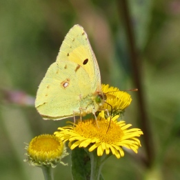 170816 Clouded yellow (3)