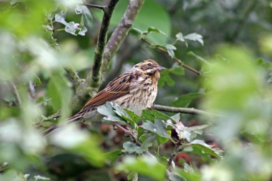 170819 Reed bunting (1)