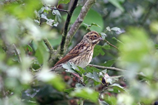 170819 Reed bunting (2)
