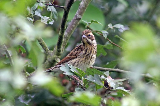 170819 Reed bunting (3)