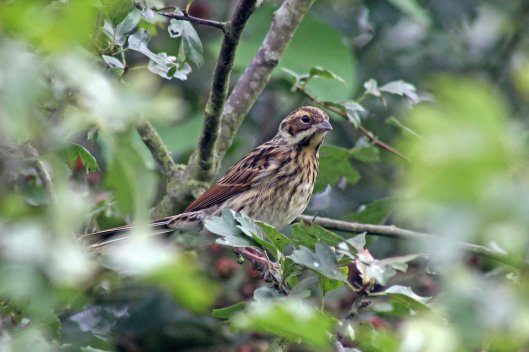 170819 Reed bunting (4)