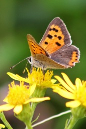 170820 Small Copper Cosmeston (1)