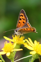 170820 Small Copper Cosmeston (2)
