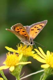 170820 Small Copper Cosmeston (3)