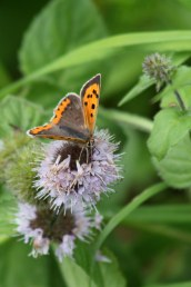 170820 Small copper Llanishen (1)