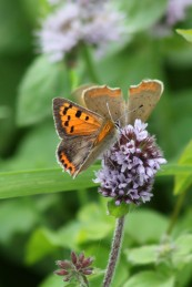 170820 Small copper Llanishen (2)