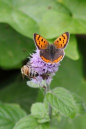 170820 Small copper Llanishen (3)