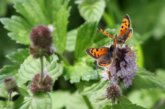 170820 Small copper Llanishen (4)