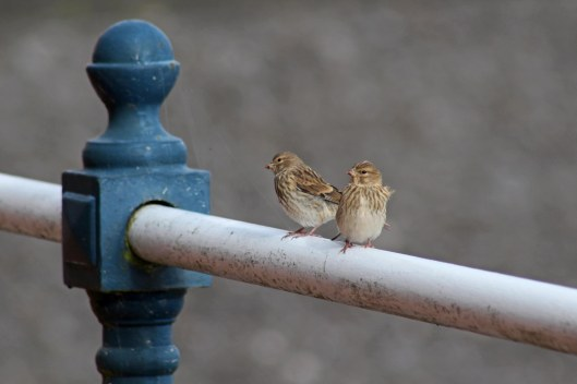 170821a Linnets