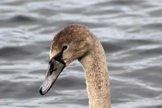 170821e Swan
